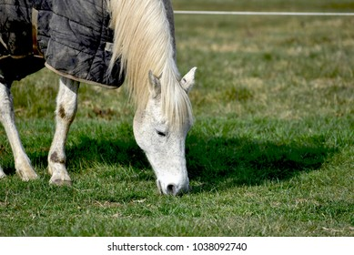 White horse with blanket eating grass, close up