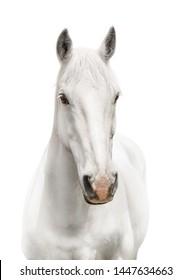White horse body white background