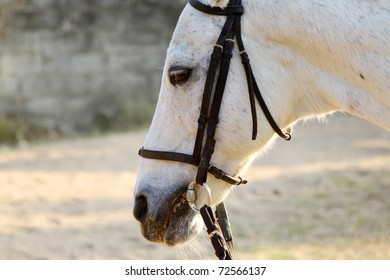 White horse with bridle close-up
