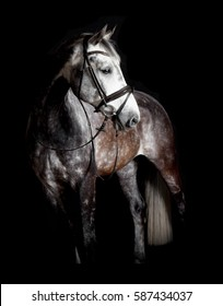 A white horse with bridle in studio against black background