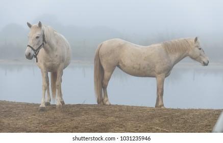 white horse, camargue, horse white