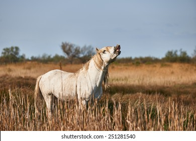 A white horse of the Camargue whinnies free in a field.