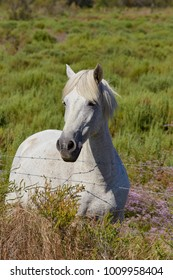 white horse in the Carmague