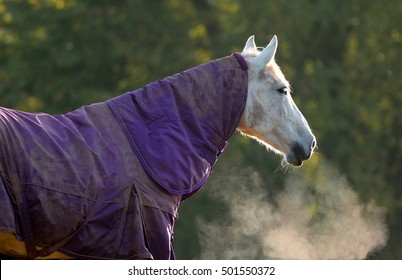 White horse covered with stable rug on a cold autumn morning