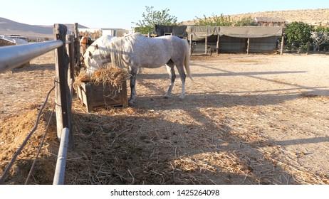 White horse eating hay on farm wideshot