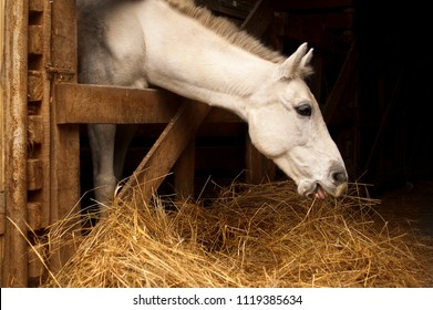 White horse eating hay (straw, grass) in the stable. A farm animal on the dark background. Profile of chewing horse head.