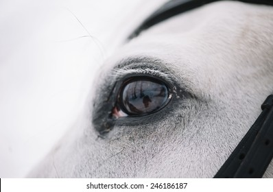 White Horse eye winter close up