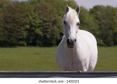 A white horse in a field