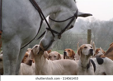 White horse and foxhounds on hunt
