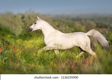 White horse free run in summer flowers meadow