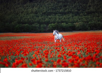 White horse galloping across red poppy field. Freedom conсept