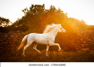 White horse galloping in Menorca