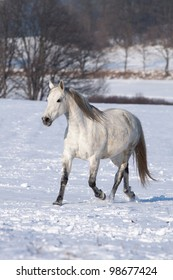 White horse galloping on a snowy meadow