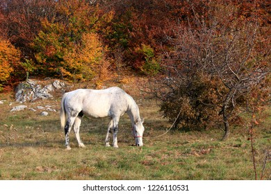 White horse grazes near the autumn forest