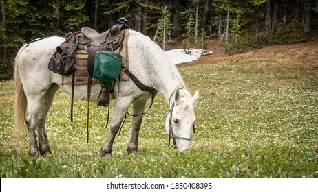 White horse grazing in an alpine meadow full of spring beauty and glacier lilly flowers (BC, Canada).