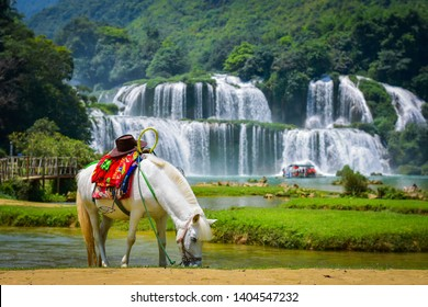 White horse are grazing in the field in front of the waterfall , Ban Gioc Waterfall is one of Vietnam's best-known waterfalls,Ban Gioc is the beautiful largest waterfall in the country,