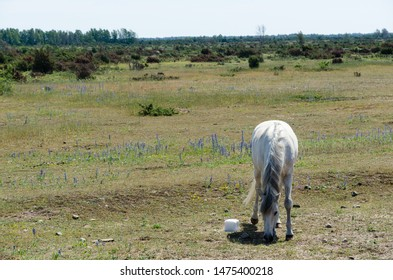 White horse grazing in the great plain area Stora Alvaret in the World Heritage   Agricultural Landscape of Southern Oland in Sweden