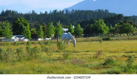 A white horse grazing on a farm in Stellenbosch on a warm Spring morning. Western Cape, South Africa.