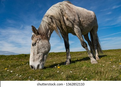 White Horse grazing in a rural Irish meadow on the west coast of Ireland