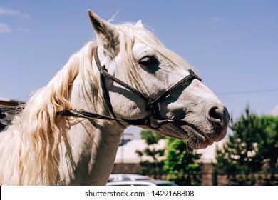 White horse in harness. Walk along Arbat street in the city of Shymkent. Festival of flowers in Kazakhstan.