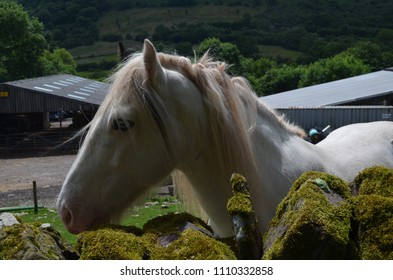 white horse head from a farm in Wales