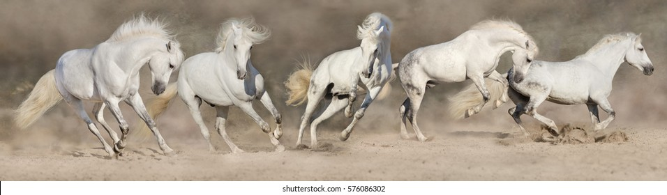 White horse herd run in desert dust. Panorama for web