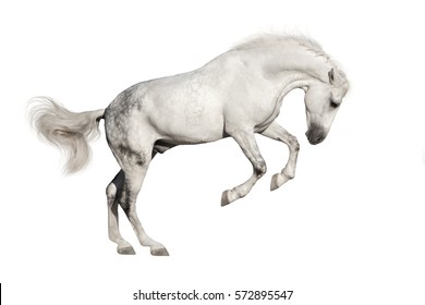 White horse isolated on white background in motion