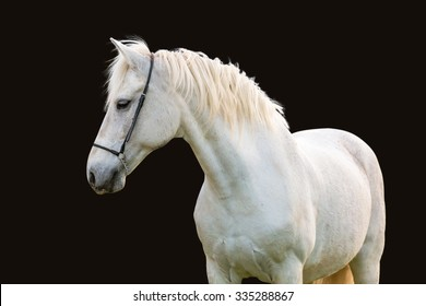 White horse isolated on black background.