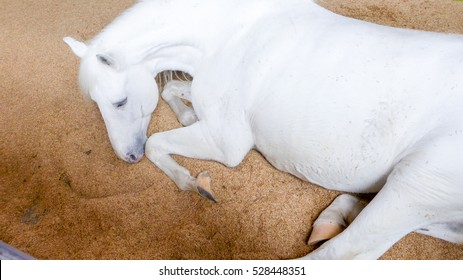 White horse laying on floor full of sand