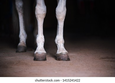 White horse legs close up