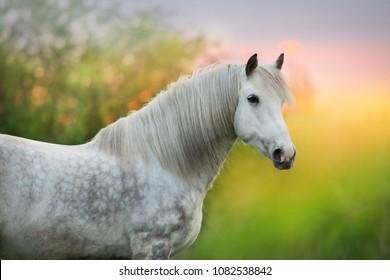 White horse with long mane close up portrait at sunrise