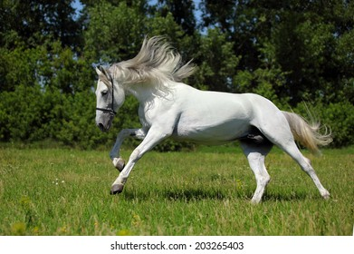 White horse with long mane galloping  in a field