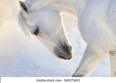 White horse with long mane portrait  in motion in winter day