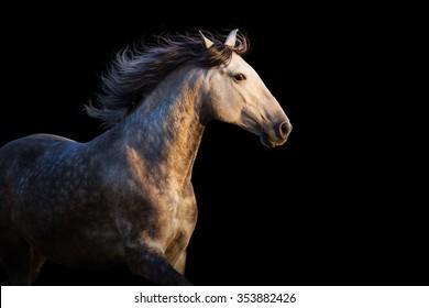 White horse with long mane run at sunset light on black background