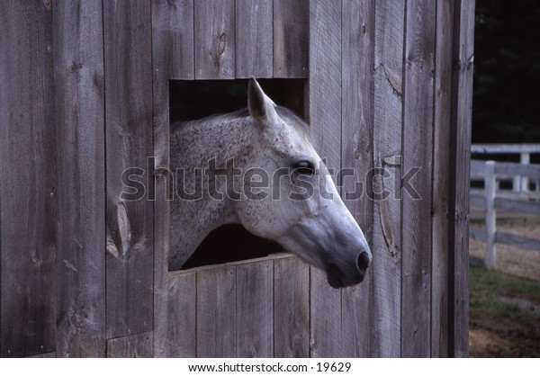 White Horse looking out of barn window