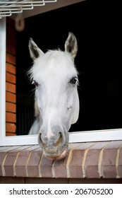 White horse looking from the window of a stable.