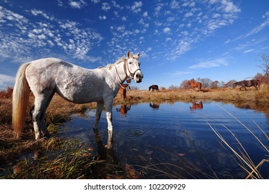 White horse near a water