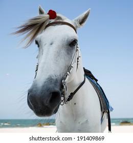 White horse on beach, Thailand