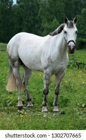 White horse on a green meadow near the forest