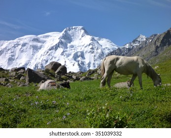white horse on the meadow with snow capped mount Karakol in the background in Kyrgyzstan