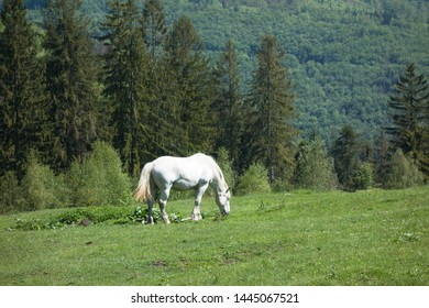 White horse on pasture in Beskydy, Czech republic.