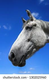 White horse portrait on blue sky background