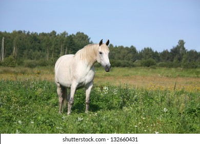 White horse portrait at the pasture in summer