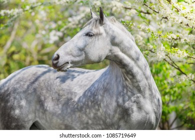White horse portrait in spring blossom tree