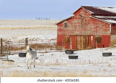 White Horse Prancing in the snow in front of an old red barn.