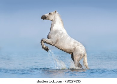 White horse rearing up in blue water with splash