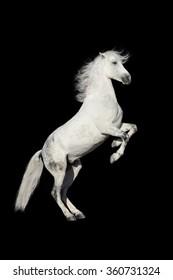 White horse rearing up isolated on black background