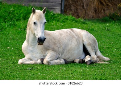 White horse resting on spring meadow