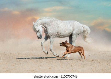 White horse run with dog in dust of sand