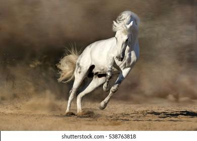 White horse run free in desert sand dust